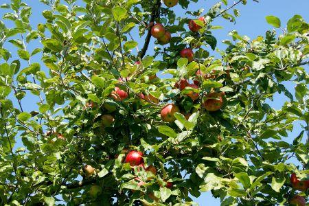 Archehof Herbstanlass Äpfel